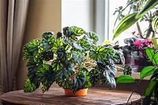 piante da davanzale begonias how to plant grow care for a begonia plant