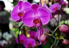 Gambar Bunga Anggrek Bawang Gambar Bunga