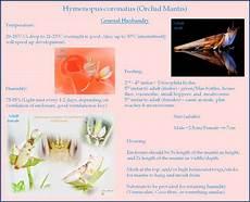 hymenopus coronatus orchid mantis basic care sheet
