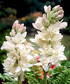 tuberose fiori buy tuberose the pearl bakker