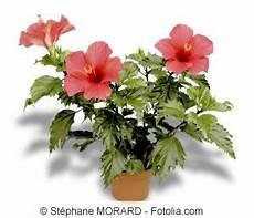 Hibiskus Pflege Zimmerpflanze - zimmerhibiskus hibiskus rosa sinensis pflege als