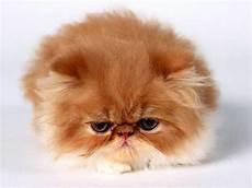 gatti persiani 7 razze di gatti piu conosciute expofeline