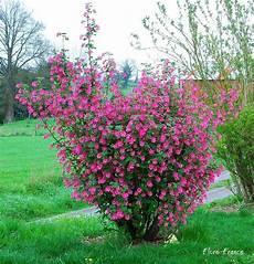 arbustes à fleurs rouges ribes sanguineum groseill 233 sanguin pas de fruit 2x2
