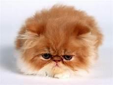cat breed 10 most popular cat breeds