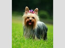 1000  images about Dog Breeds   Small & Tiny on Pinterest