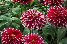 Gambar Bunga Dahlia Yang Indah Kumpulan Gambar