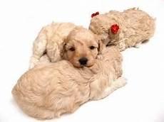 comment dresser un chien gratuit dressage chien ou chiot plus rapidement site d annonce
