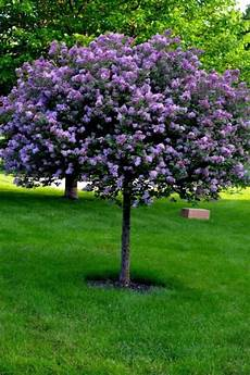 lilac tree trees for your garden wearefound home design