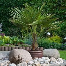 new 80 100cm hardy fan trachycarpus palm tree potted