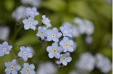 blumen klein tiny blue flowers she s got the of a ballerina