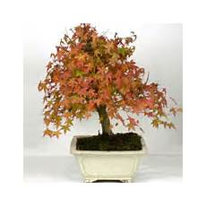Achat Du Ficus Ginseng Retusa Ou Microcarpa Acheter Au