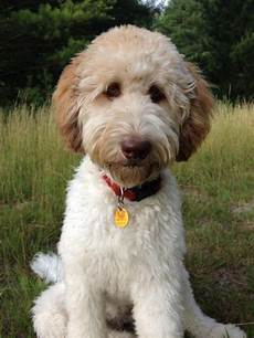 types of goldendoodle haircuts google search pretty image result for types of goldendoodle haircuts goldendoodle haircuts goldendoodle grooming