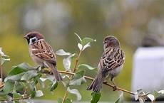 29 Gambar Burung Gereja Jantan Dan Betina