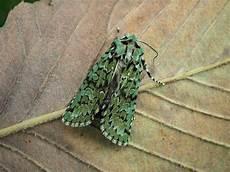 merveille du jour moths at martineau gardens martineau gardens
