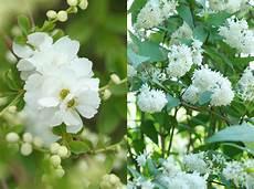 arbuste à fleurs blanches odorantes plantes fleurs blanches odorantes
