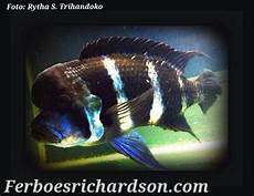 Ikan Frontosa Yang Mulai Layu Ferboes