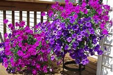balkonpflanzen für pralle sonne plant of the month trailing petunias gardening in the mud