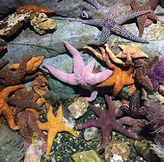 Menakjubkan 25 Gambar Bintang Laut Asli Richa Gambar