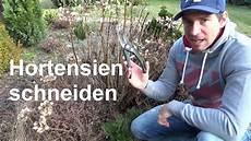 hortensien schneiden bauernhortensien und rispenhortensien
