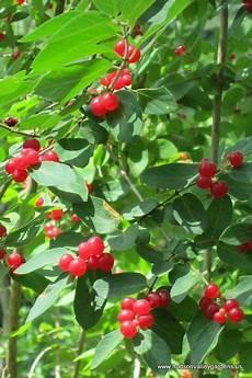 pflanze mit roten beeren bright berries on the invasive honeysuckle bush in the