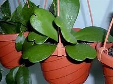 plante hoya kerrii plantfiles pictures hoya species leaf hoya wax