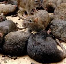 tierhandel warum echte ratten ein gesch 228 ft werden