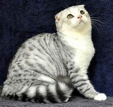 Kucing Scotish Fold Info Kucing Anggora Dan