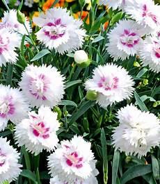 Bodendecker Nelke Diantica 174 White Eye Baldur Garten
