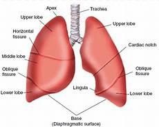Struktur Anatomi Paru Paru Dan Fungsinya Berbagai Struktur