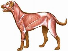 Dog Muscle Chart Dog Canine Muscles Drawing Sketch Image Illustration