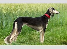 Most Compared Dog Breeds with Afghan Hound   Dog Breed Atlas