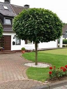 baum für vorgarten kugel trompetenbaum der sch 246 nste baum f 252 r den vorgarten