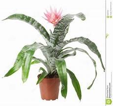 piante da appartamento con fiori bianchi pianta da appartamento con il fiore rosa isolato sui