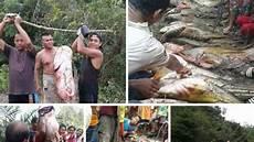 Tapah Ikan Raksasa Endemik Kalbar Tribun Pontianak