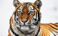 siberian tiger wallpapers hd wallpapers id 8238