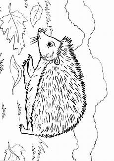Ausmalbild Igel Gratis Hedgehog Coloring Pages To And Print For Free