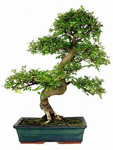 indoor archives how to grow a bonsai tree