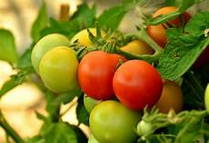 Tomaten Pflanzen Wann