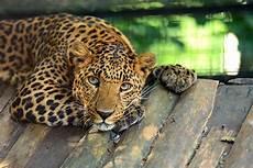 jaguar ou leopard leopard
