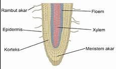 Gambar Struktur Anatomi Akar Dikotil Dan Monokotil