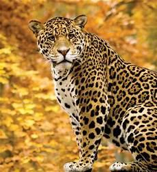 what is a jaguar called jaguar britannica homework help