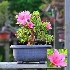 schöne pflanzen für den garten die 15 besten japanische kirsche bonsai