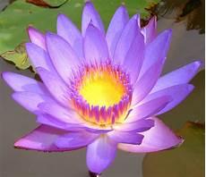 flower lotus flowers
