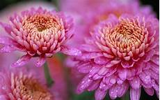 flower wallpaper for background chrysanthemum beautiful pink flower drops water nature hd