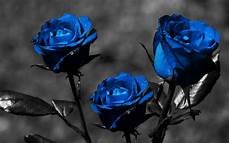 Home Screen Blue Roses Wallpaper