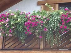 balkonkästen bepflanzen ideen so das wachsen eines petunienbalkons im zeitraffer