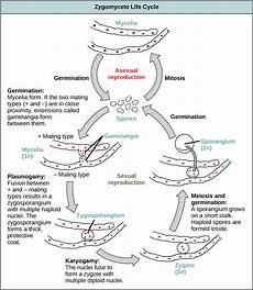 classification of fungi biology ii
