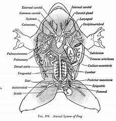 frog anatomy diagram labeled bullfrog dissection frog dissection dissection science experiments