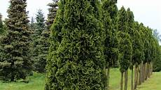 Thuja Occidentalis Smaragd Treeebb Baumsuchmaschine