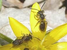 bienen niedrigere klassifizierungen toronto wildlife bees
